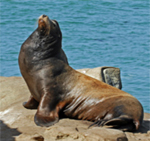 CA Sea Lion